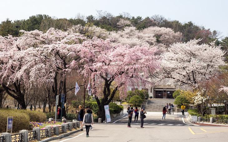 hidden cherry blossoms korea