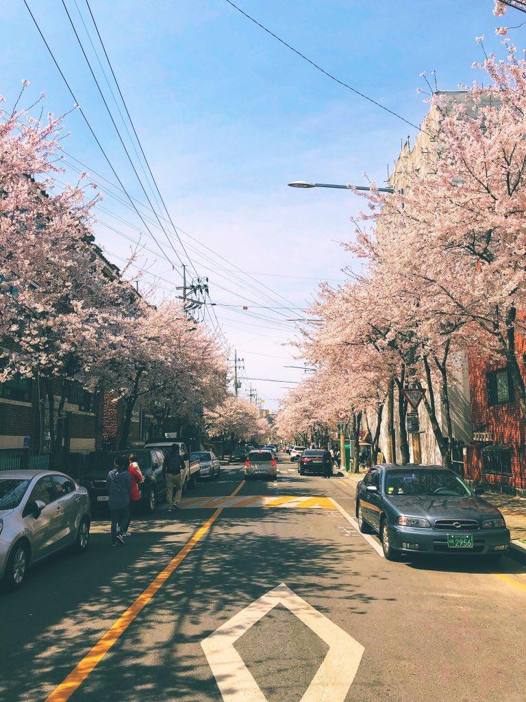 mapo-gu cherry blossom, hapjeong, hongdae