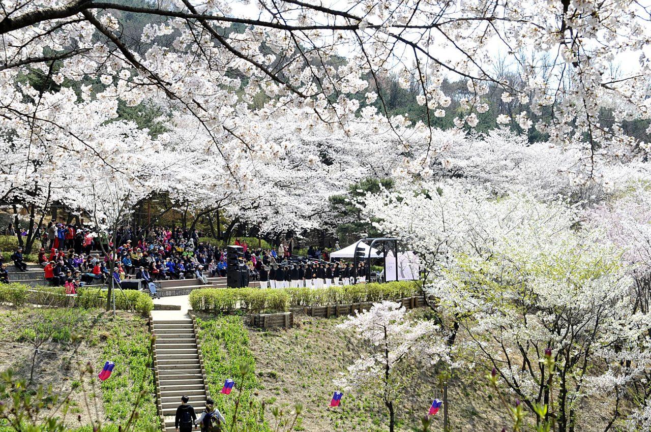 ansan cherry blossoms, cherry blossom