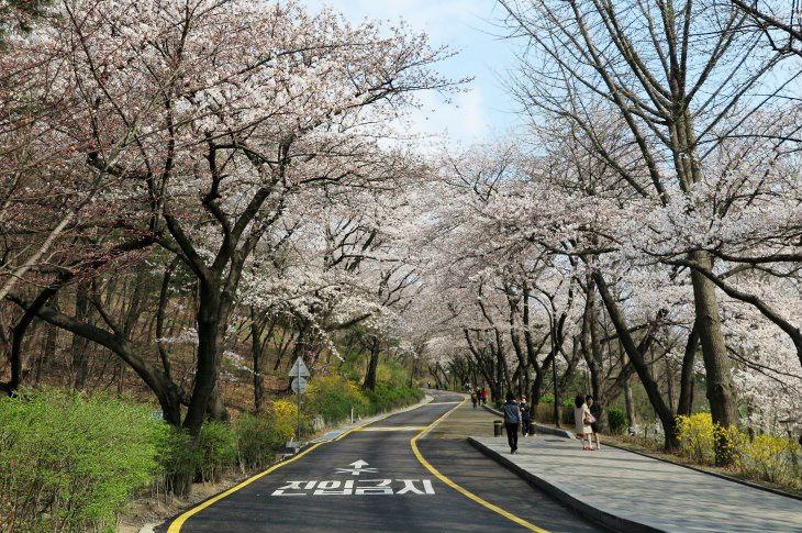 namsan tower cherry blossoms